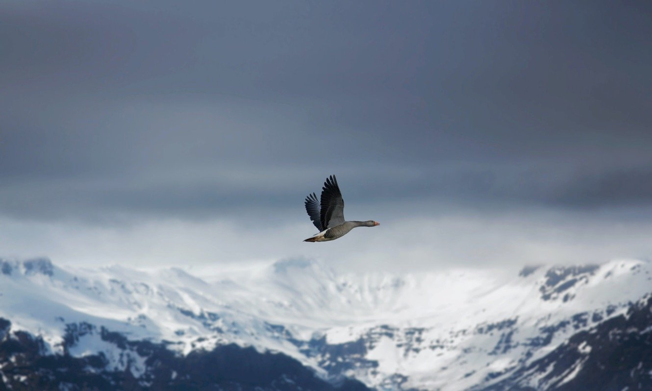 Goose flying in mountainous winter landscape