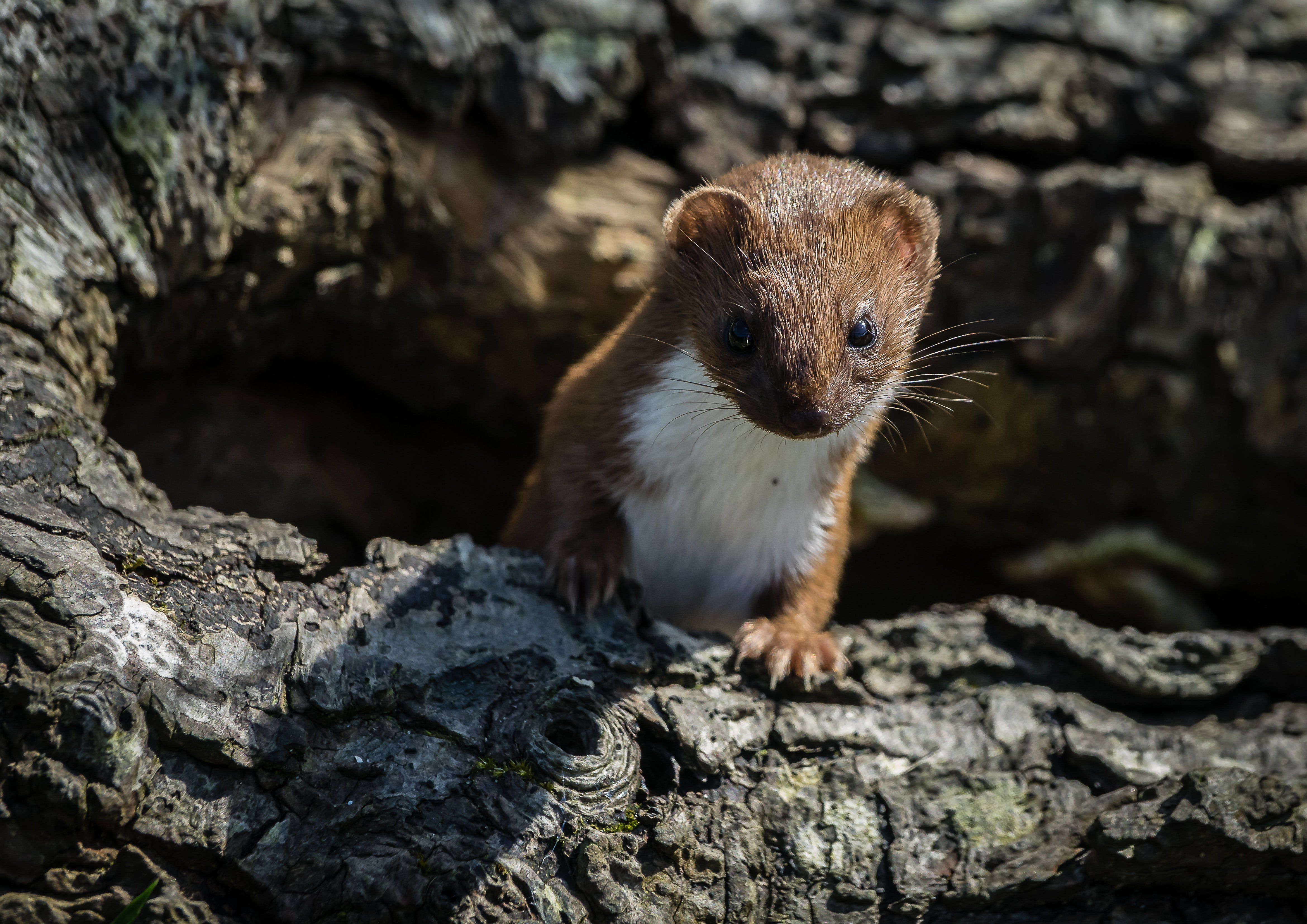You may see a weasel on the Cuckoo Trail in Sussex