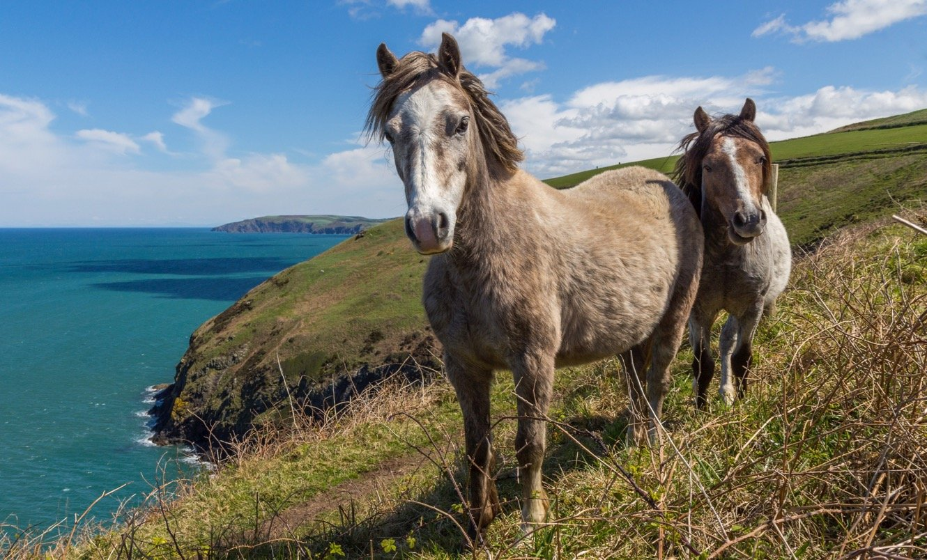 Two wild ponies on the Wales Coast Path
