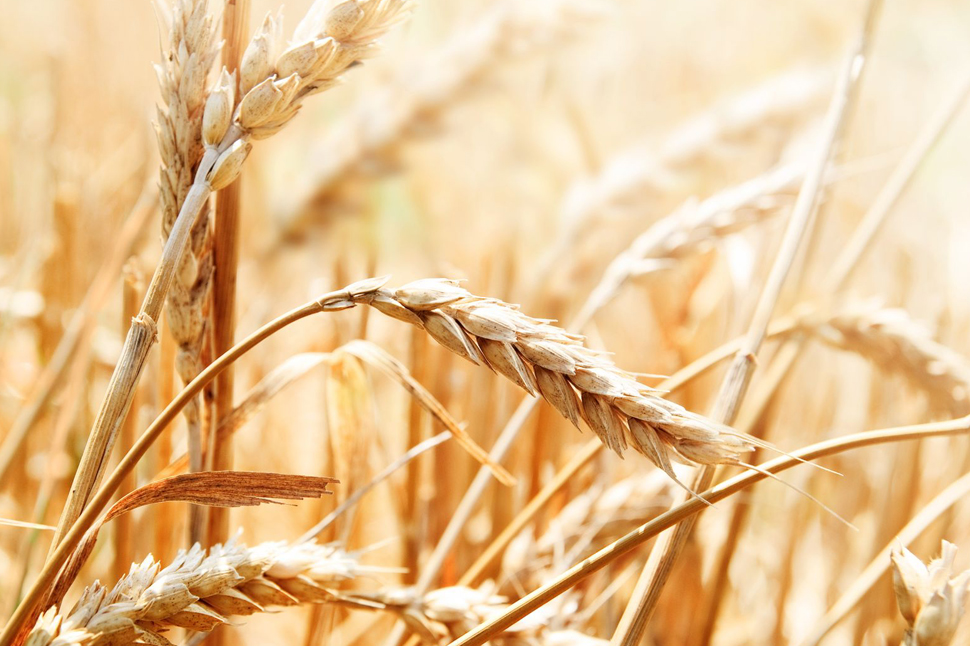 wheat is a natural unrefined carbohydrate
