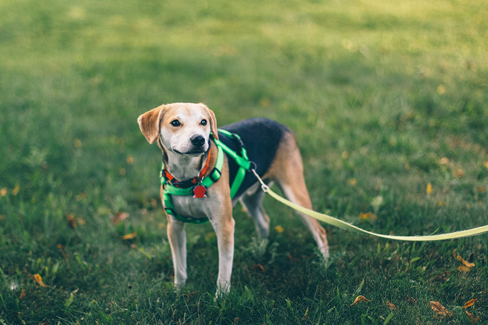 Are beagles the best canine running companions?