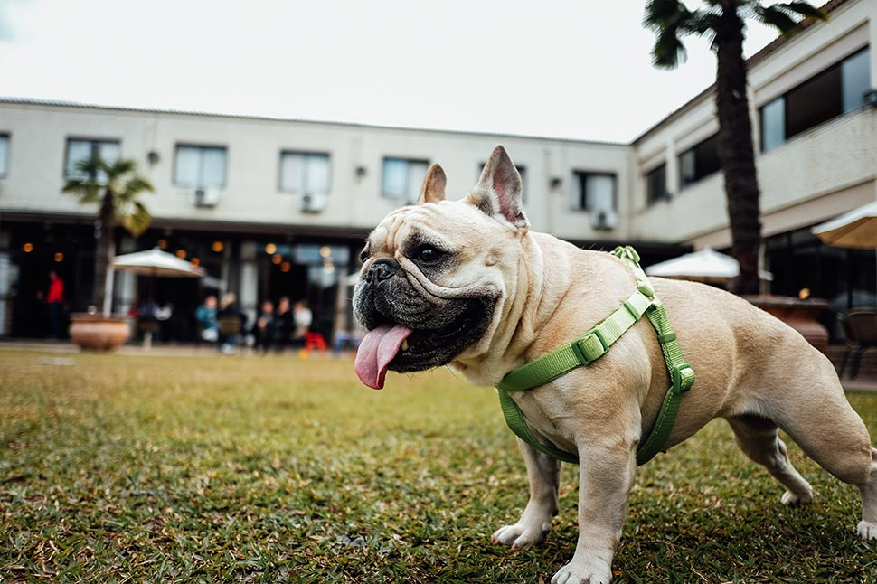 Surprisingly, could French Bulldogs be the best dog jog companions?